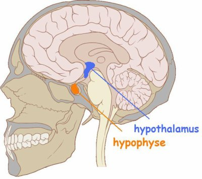 Hypothalamus || Med-koM